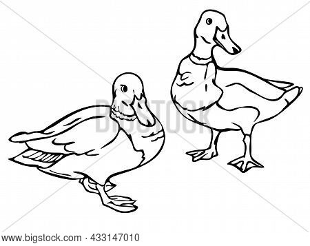 Vector Illustration With Outlines Of Ducks. Two Black And White Wild Ducks.