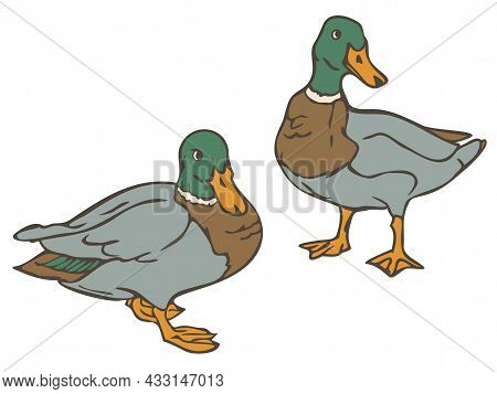 Vector Illustration Of Wild Ducks Colored And Depicted By A Line. Drakes.