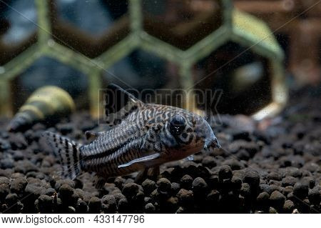 Armored Catfish Or Cory Catfish Look For Food In Aquatic Soil Near Decorative And Snail In Fresh Wat