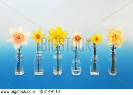Spring daffodil narcissus flowers in vases. Natural floral nature symbol of Springtime concept. On gradient blue white background.