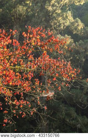 Beautiful Maple Leaves In Autumn Season.