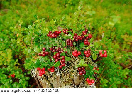 The Forest Stump Is Covered With Ripe Cranberries. The Concept Of A Background Image With Berries. C
