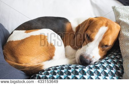 Adult Male Beagle Dog Sleeping On His Pillow.