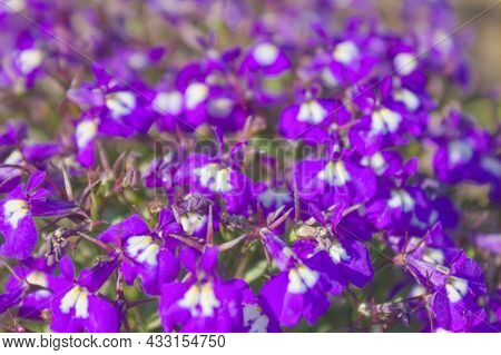 Beautiful Purple Flowers On A Flower Bed Close-up.
