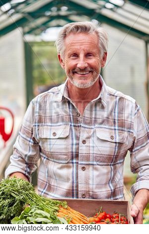 Portrait Of Senior Man Holding Box Of Home Grown Vegetables In Greenhouse