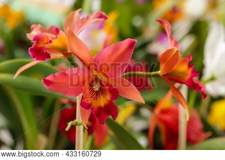 L. Anceps X C. Aurantiaca Flower With Center Focus And Rest Of Image Blurred