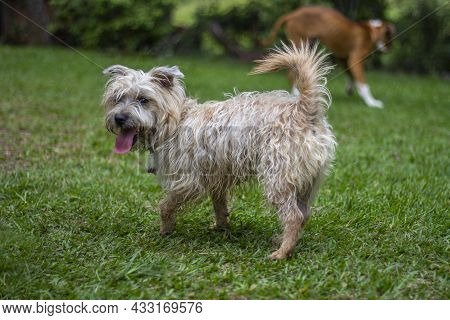 Dogs playing on the grass. Cairn Terrier dog