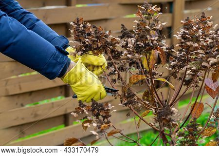 Bush Hydrangea Cutting Or Trimming With Secateur In The Garden