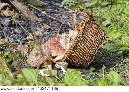 A Wicker Basket With Mushrooms Lies Near A Fire In The Forest. Concept: Poisoning With Inedible And