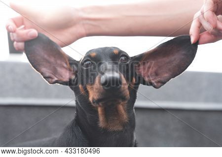 Person Carefully Holds The Long Ears Of Dachshund Dog With His Fingers, Spreading Them In Different