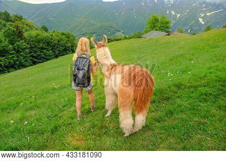 Woman Trekking With Llama Alpaca On Top Of Comino Mount In Switzerland. Centovalli Location In Ticin