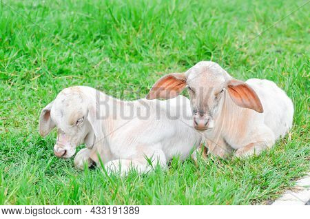 Cow, Young Cow Or Young Cows In The Field