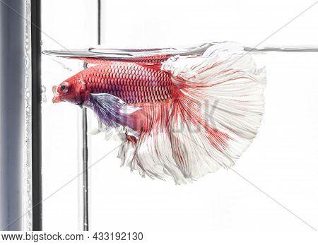Siamese Fighting Fish,betta Splendens, Red Fish Swimming In The Aquarium With Bubbles, White Backgro