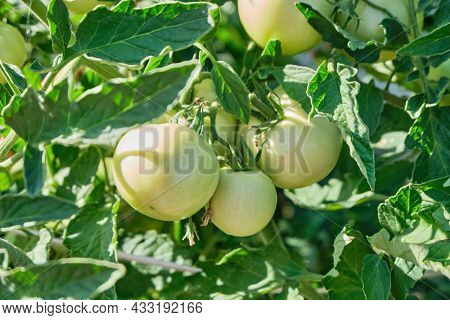 Green And Red Tomatoes Grow On A Branch In The Greenhouse, On The Plantation In The Daytime, Natural