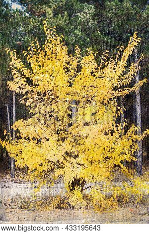 Yellow Aspen Wood Against A Green Coniferous Forest. A Beautiful Solitary Tree With Falling Foliage.
