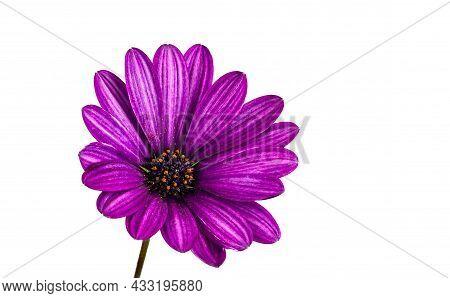 African Daisy Osteospermum Soprano Purple Flower, A Bushy, Evergreen, Tender, Perennial With A Rich