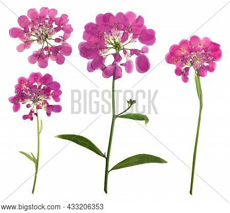 Pressed And Dried Flower Iberis, Isolated On White Background. For Use In Scrapbooking, Floristry Or