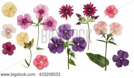 Pressed And Dried Delicate Flowers Phlox, Isolated On White Background. For Use In Scrapbooking, Flo