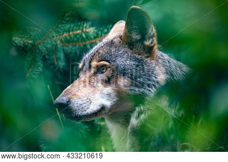 Hunting European Wolf (canis Lupus Lupus), Very Beautiful Animal And Extremely Dangerous Beast. Potr