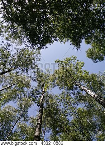 Birch Grove Trees From Bottom To Top And Blue Sky With Sunlight