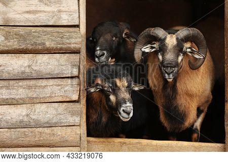 Beautiful Ram And Sheep In Zoo Enclosure