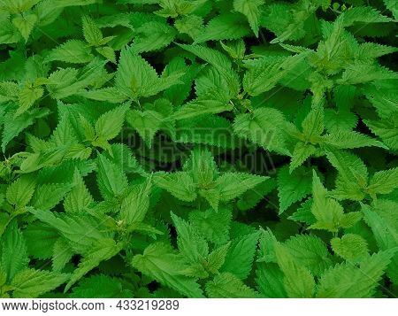 Young Fresh Plants Dioecious Nettle Green Natural Background