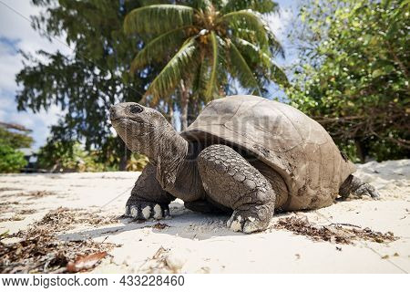 Aldabra Giant Tortoise On Sand Beach. Close-up View Of Turtle In Seychelles.