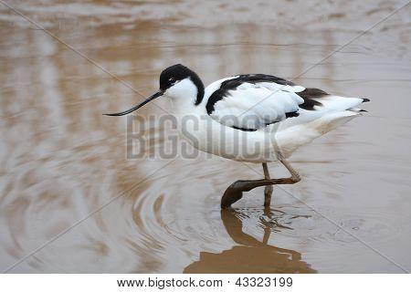 Adult Avocet (Recurvirostra avosetta)