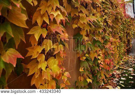Ivy Tree Plant Climbing Concrete Wall Background While Autumn Fall Winter Season Seasonal In Garden