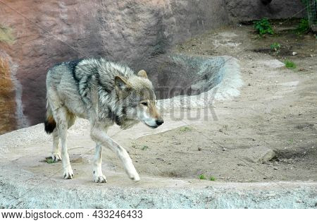 The Gray Wolf. A Disheveled, Tired Wolf Wanders Along A Rocky Road. Battered Plucked Wolf