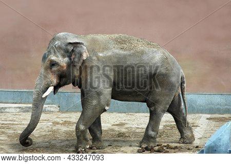 The Elephant Walking Along The Wall Of The Zoo. A Gray Sad Dirty Elephant.