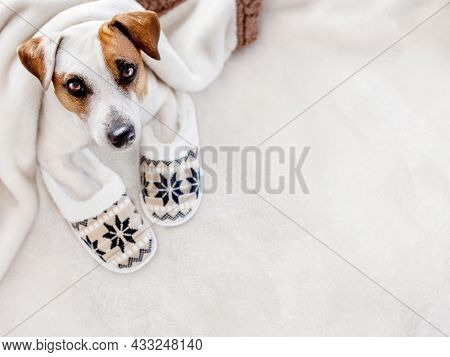 Jack Russell terrier in cozy house slippers. Dog on a warm knitted textile blanket. Copy space