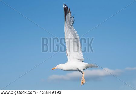 Close Up Of A Flying Seagull With Open Wings. Blue Sky, Galicia, Spain, Europe