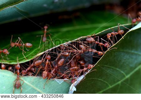 Close-up Of Ants Action Help Build A Nest, Unity Team Good Team Work.
