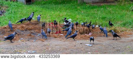 The House Crow, Corvus Splendens Or Indian Greynecked Crows Have Gathered To Collect Food From Groun