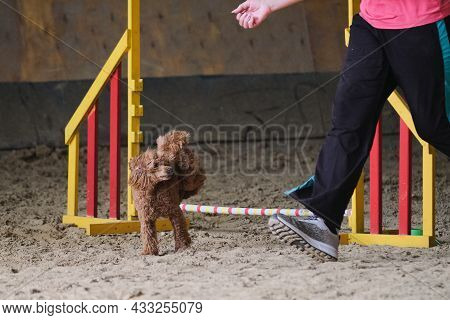 Charming Red Haired Toy Poodle Runs At Agility Competitions Next To Its Owner. Contact And Trust Bet