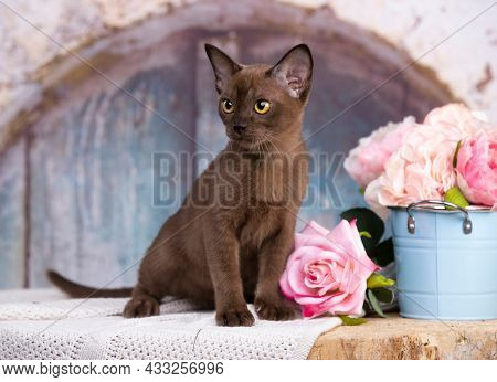 Portrait of playful Burmese European cat about 3 months and pink flowers