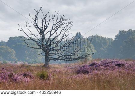 Dead Tree In A Heather Field On De Kampina In Noord-brabant, Dutch Landscape