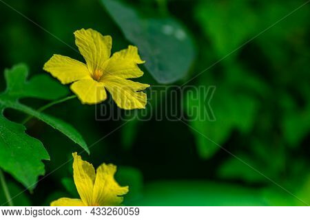 Yellow Forest Bitter Melon Flower With Green Foliage Background, Nature Concept