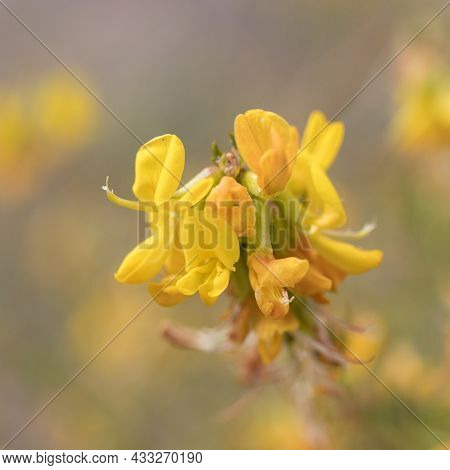 Yellow Axillary Indeterminate Umbel Inflorescences Of Deerbroom, Acmispon Glaber, Fabaceae, Native S