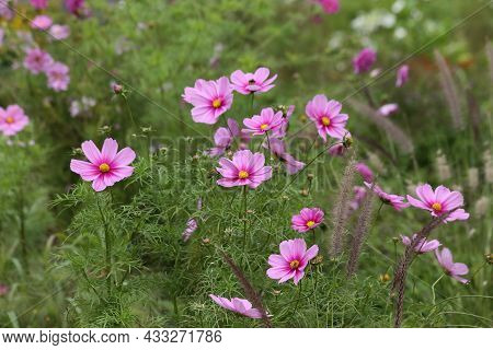 Background Of Pink Flowers Of Cosmea. High Quality Photo