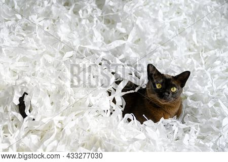 Burma Cat Lying In Filler Box Packaging, Young Brown Burmese Cat Plays With White Confetti Strips. P