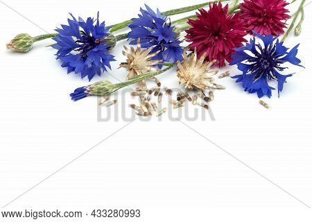 On An Isolated White Background, Inflorescences Of Annual Field Cornflowers, Seed Pods After Floweri