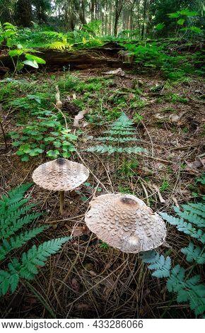 Wild Mushrooms Toadstools Growing In Woodlands Between Green Foliage On Forest Floor