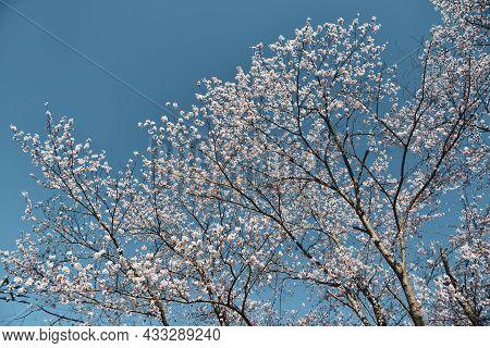 Cherry Blossom In Nara, Japan