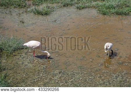 Flamingos Feed On The Swamp. Heads Are Lowered. There Is Foam On The Water, Islands Of Green Grass.