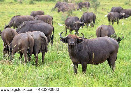 African Buffalo (syncerus Caffer), National Parks Of Uganda