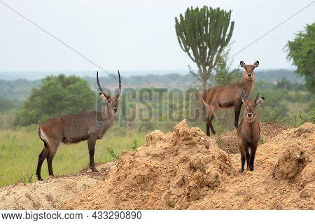 Defassa Waterbuck (kobus Defassa), Murchison Falls National Park, Uganda