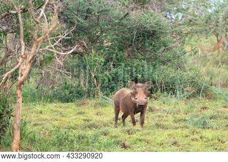 Warthog (phacochoerus Africanus), National Parks Of Uganda