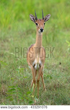 Oribi (ourebia Ourebi), Murchison Falls National Park, Uganda